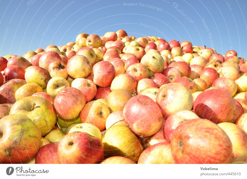 apples Food Fruit Apple Organic produce Vegetarian diet Agriculture Forestry Crowd of people Autumn Many Yellow Red Harvest Apple harvest fruit harvest Eating