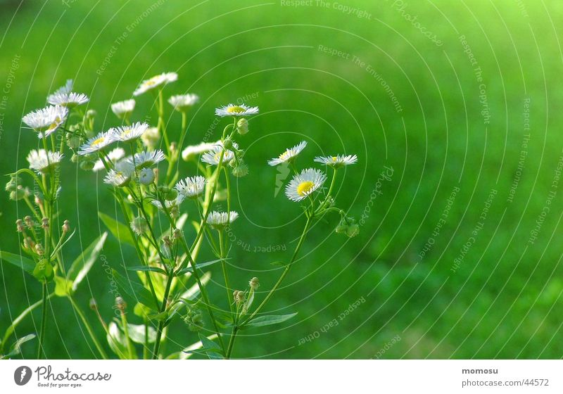 White Green Summer Meadow Blossom Grass Garden Medicinal plant