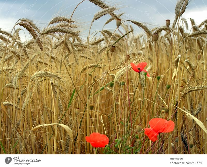 view - field Field Poppy Mature Flower Blossom Wheat Clouds Ear of corn Summer Grain Harvest Sky