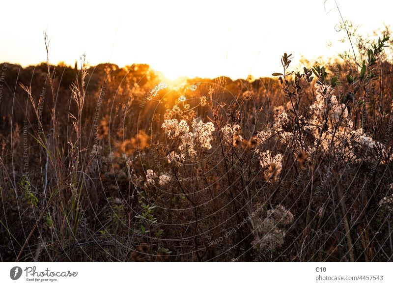 Dry wildflower and wild grass backlit by soft golden hour sunlight Light Sunset abstract autumn autumn day background backlight bright brown countryside dry