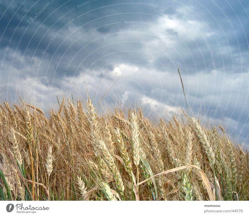 cloudy grain Clouds Dark Summer Grain Thunder and lightning Evening