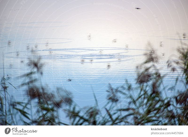 pondland Lake Water Nature Blue Landscape water rings Reflection Lakeside Calm Exterior shot Idyll Relaxation Water reflection Colour photo Peaceful Common Reed