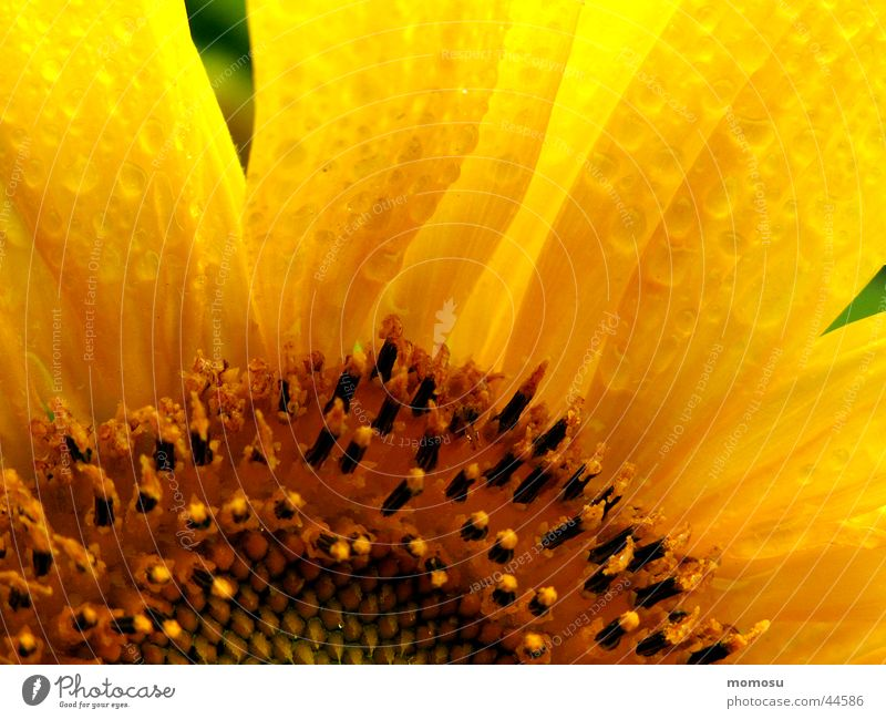Summer Leaf Yellow Blossom Rain Field Drops of water Sunflower