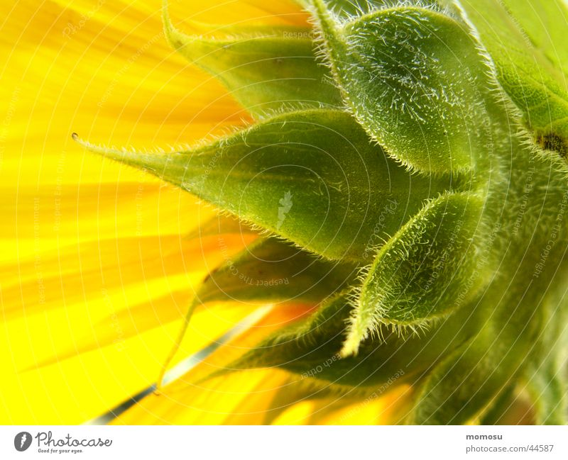 towards the sun Blossom Leaf Yellow Summer Field Sun sunflower