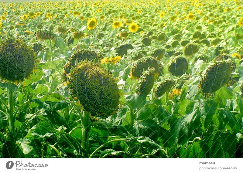 ...everything has its time Sunflower Field Light Blossom Leaf Summer Harvest