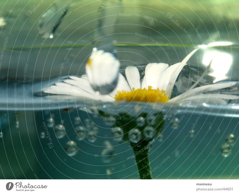 daisies in the aquarium Flower Blossom Leaf Daisy Blow Water