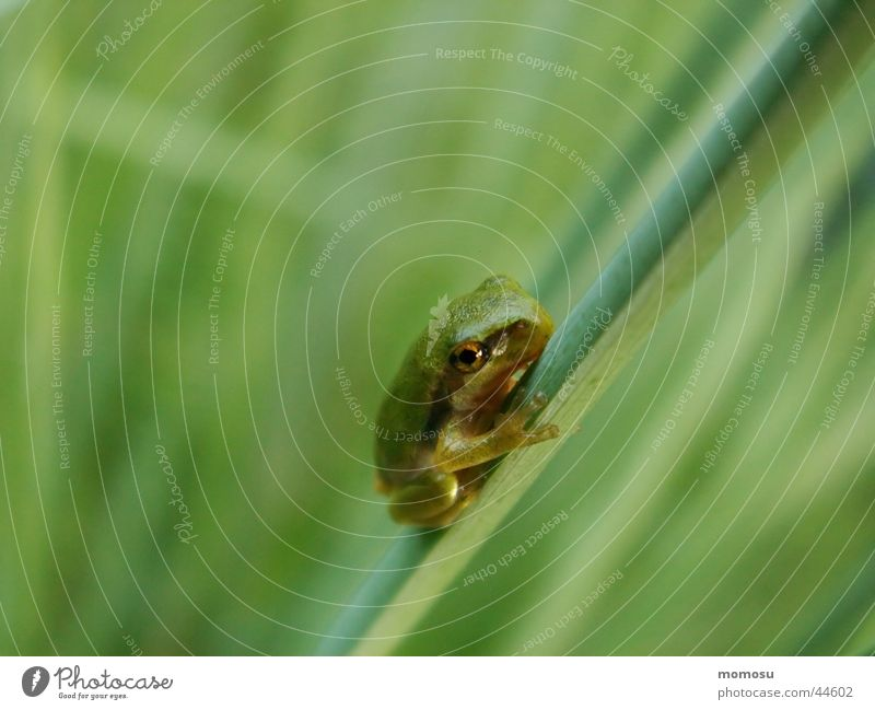 Green Grass Frog Tree frog
