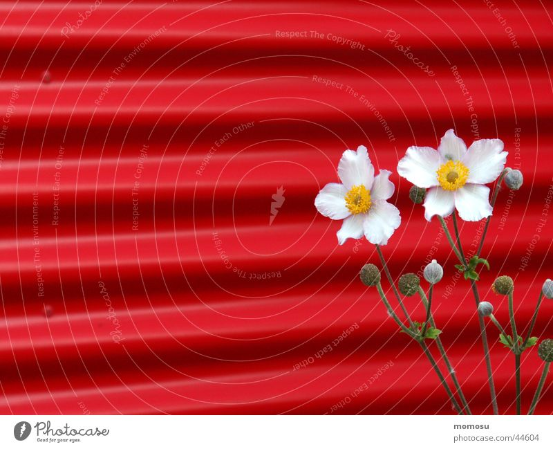 contrast Chinese Anemone Corrugated sheet iron Wall (building) Flower Blossom Red Pink Contrast