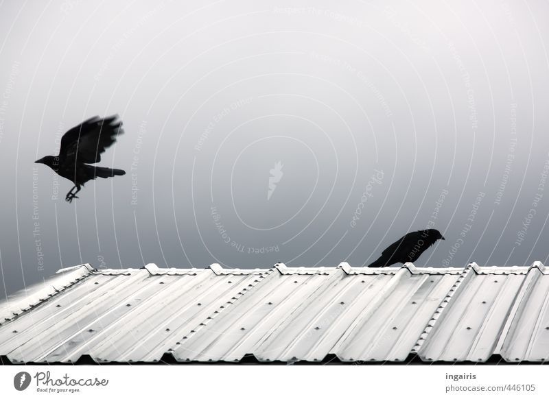 departure Sky Roof Corrugated iron roof Animal Bird Raven birds Crow 2 Observe Flying Hunting Sit Dark Together Above Smart Blue Black Silver White Moody