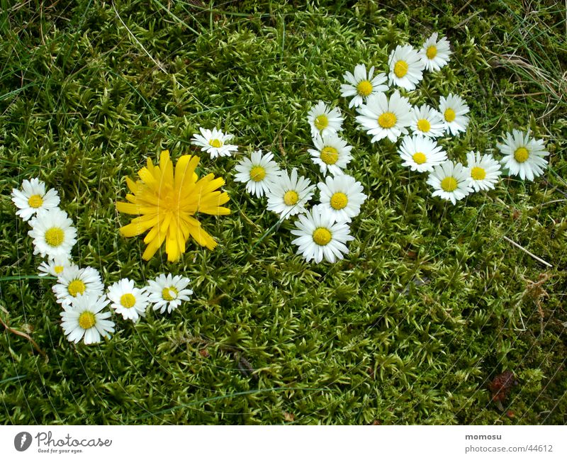 Flower Love Meadow Grass Dandelion Daisy