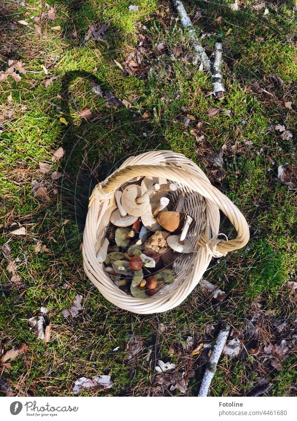 Since I have probably rich mushroom harvest. Chestnuts, birch mushrooms and even a small Curly-Gluck made the forest walk perfect. Mushroom Nature Colour photo