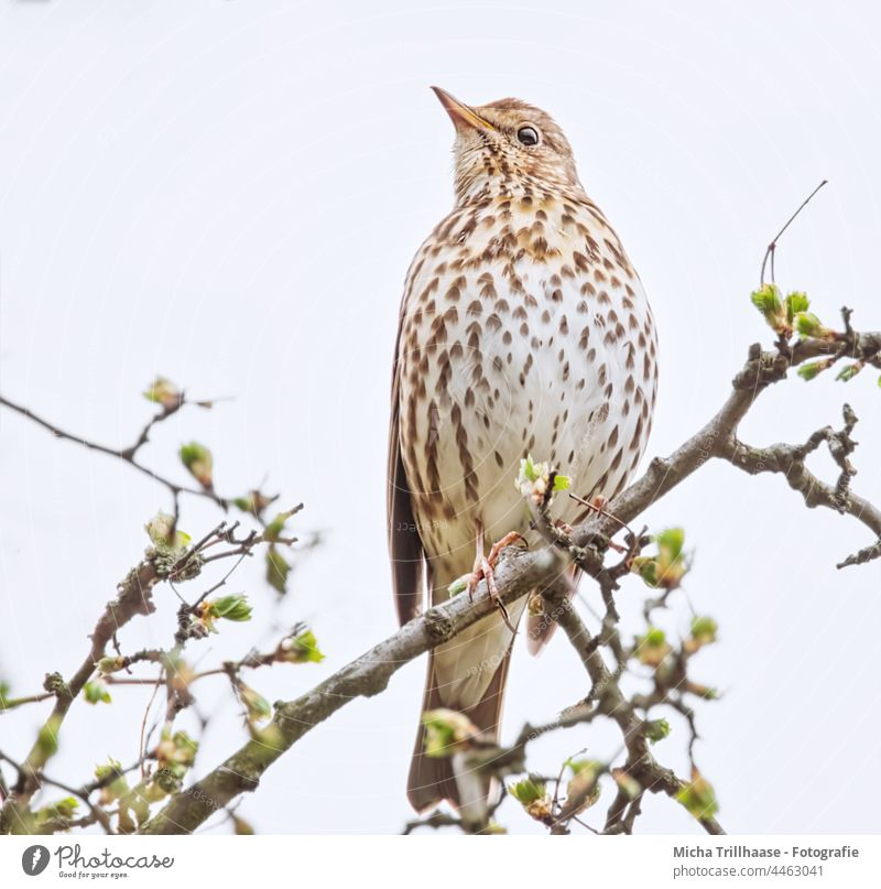 Song Thrush in Tree Turdus philomelos Throstle Animal face Head Beak Eyes plumage feathers Grand piano Wild animal Bird Animal portrait Twigs and branches