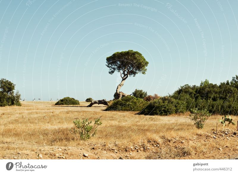Tree in summer praise Nature Landscape Elements Earth Sand Sky Cloudless sky Sun Summer Plant Wild plant Stone pine Coast Beach Ocean Exotic Natural Dry Blue