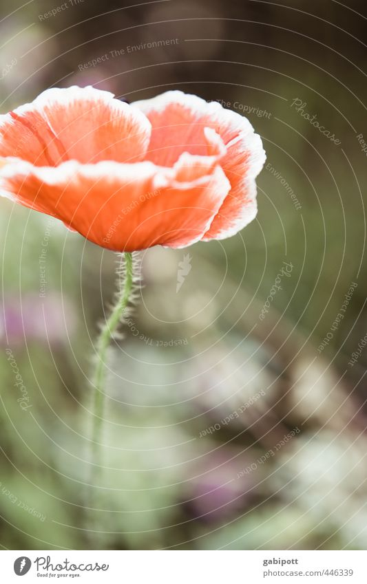 The somewhat different poppy day portrait Environment Nature Plant Beautiful weather Flower Bushes Leaf Blossom Wild plant Poppy blossom Blossoming Fragrance