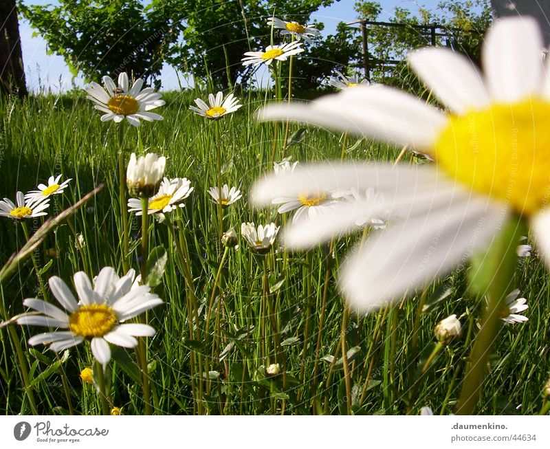 Marguerite kingdom ° 1 Meadow Flower White Yellow Green Tree Near Grass Blossom Spring Summer June July Redcurrant Leaf Bee Nature Sky Blue Plant Sun Freedom