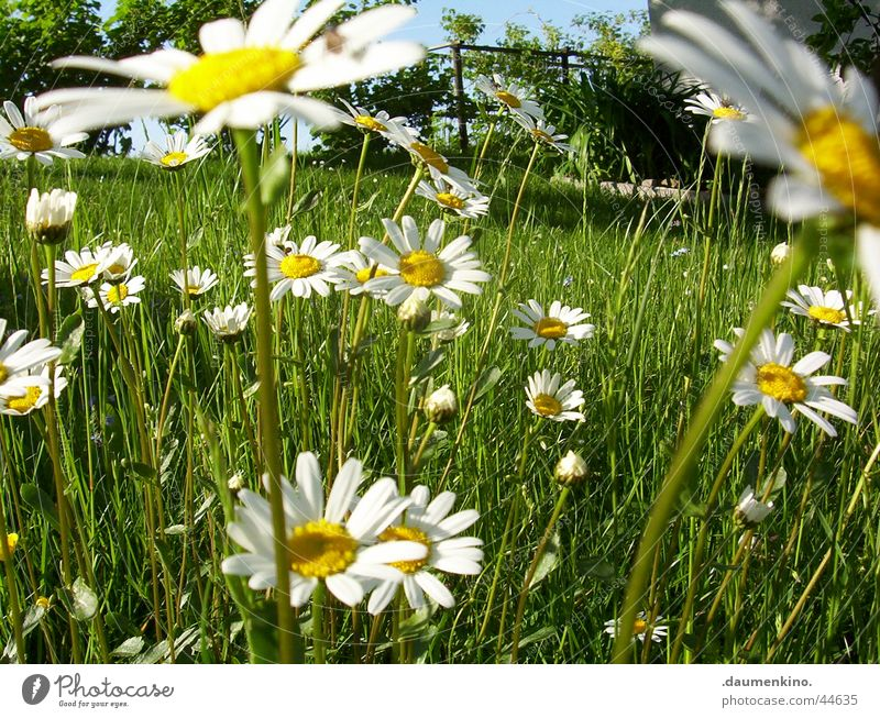 Marguerite kingdom ° 2 Meadow Flower White Yellow Green Tree Blossom Spring Summer June July Senses Contentment Nature marguerite Sky Freedom blaze of colour