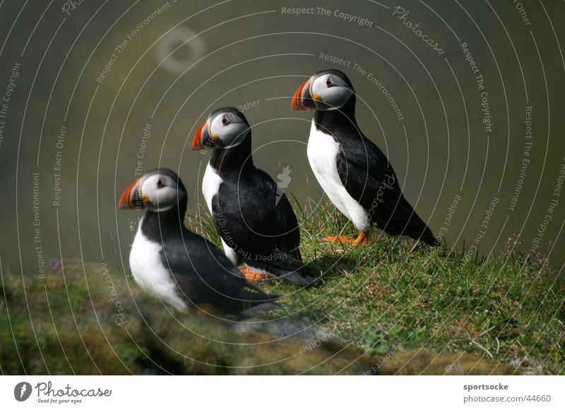 What are you looking at? Line of birds Iceland Animal Puffin Transport trio