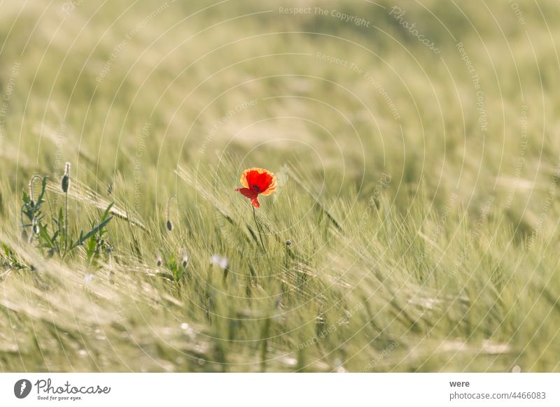 Flowering corn poppy in a ripening wheat field Blossoms agricultural area agriculture blooming copy space cornfield farmer farming flowering flowers food fruit