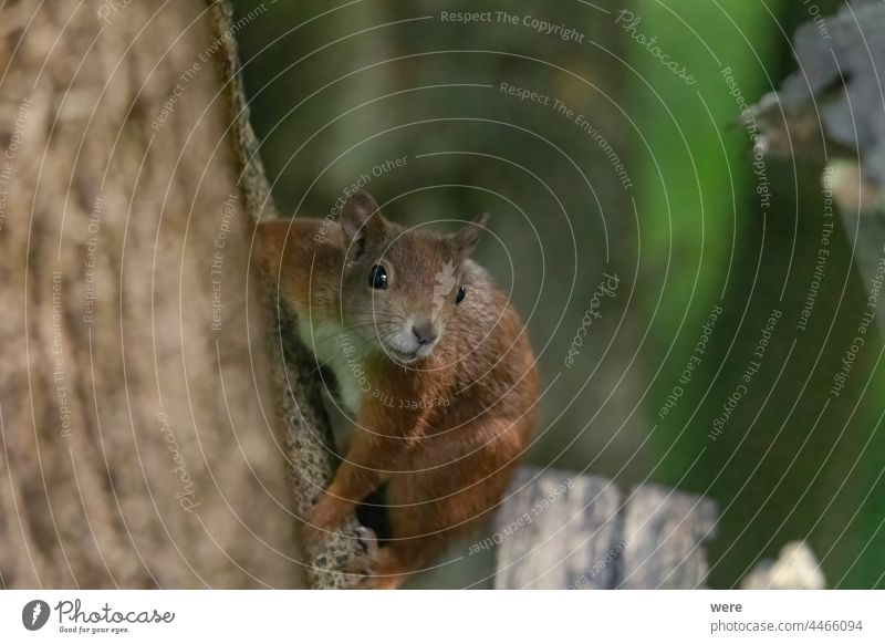 A squirrel sits between green leaves on a branch Animal Background European brown squirrel Sciurus vulgaris animal animal Theme animal in the wild branches