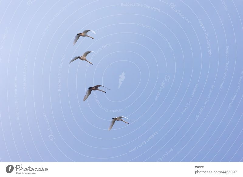four young swans flying in formation in cloudy sky animal bird copy space elegant feathers landscape majestic mysterious nature noble powerful water animal