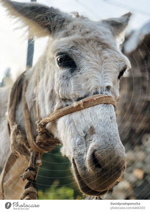Pack donkey on blurred nature background pack carry animal mule load cargo mammal santo antao cape verde cabo verde africa domestic farm burden trail livestock