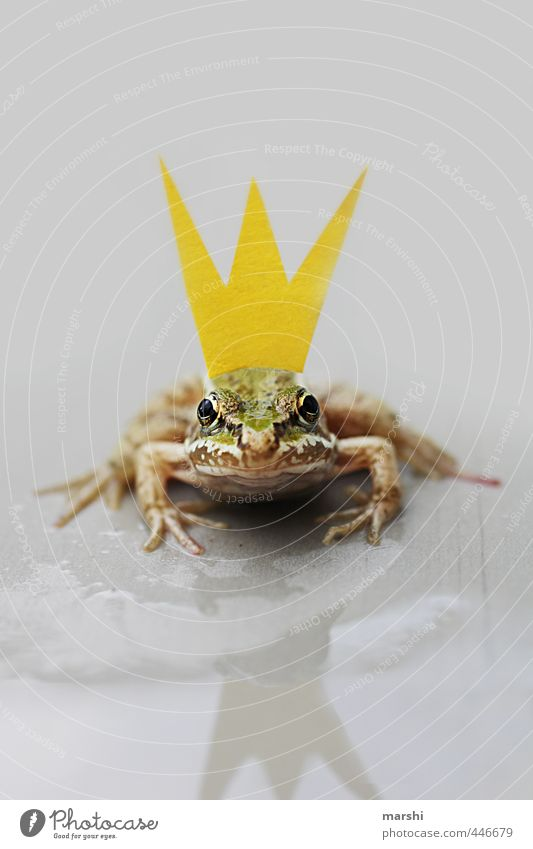 *¶ KISS ME ¶ Nature Animal Frog 1 Yellow Green Crown Frog Prince Fairy tale History book Reflection Looking Looking into the camera Wait Kissing Small Funny