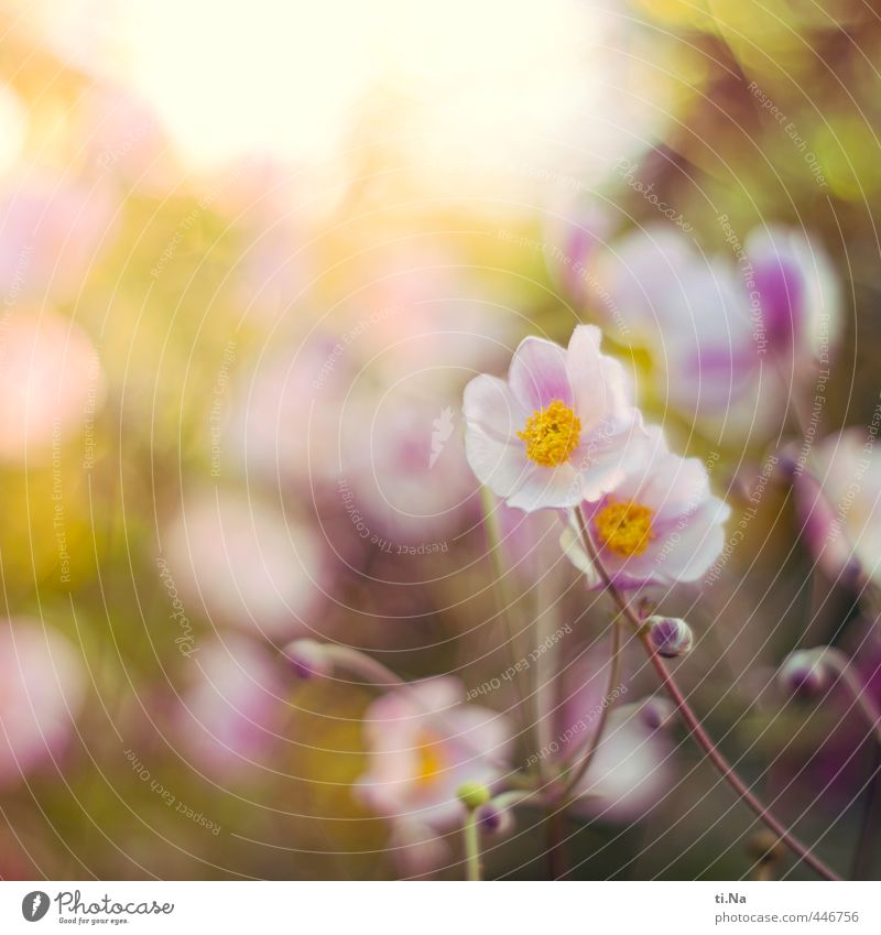 autumn greeting Nature Plant Animal Summer Autumn Flower Blossom Anemone Chinese Anemone Herbaceous plants Garden Park Blossoming Fragrance Faded Growth