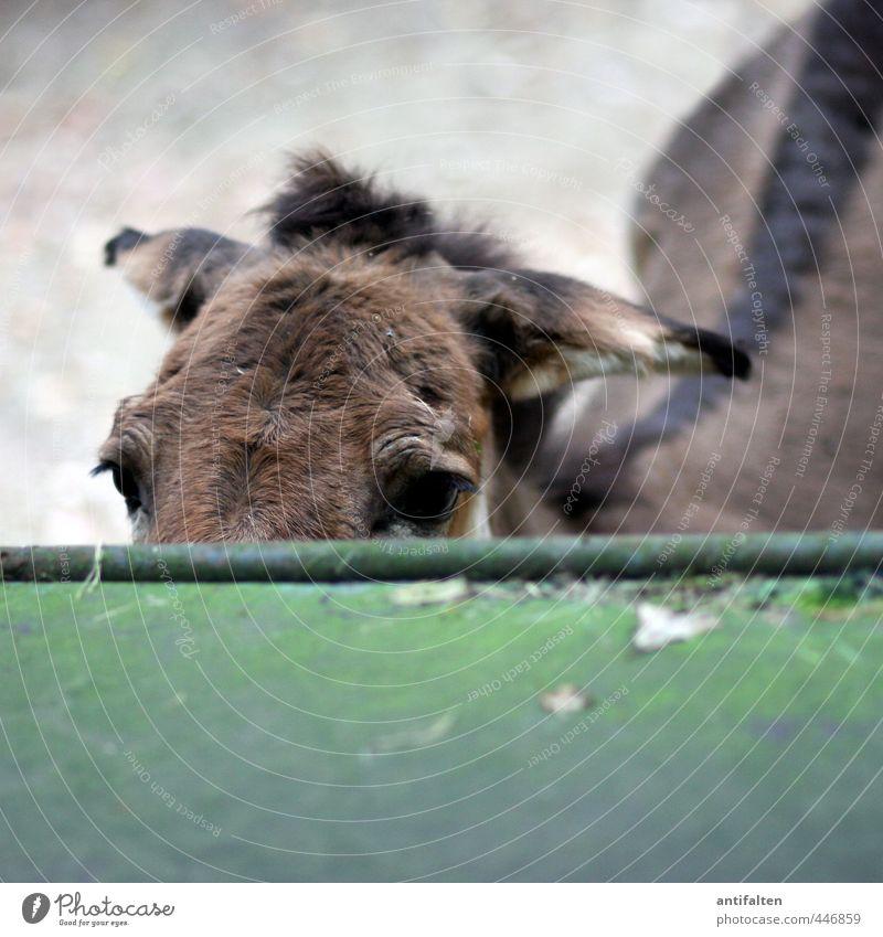 Look, mule. Tourism Trip Sightseeing Summer Park Wild animal Animal face Pelt Zoo Mule Donkey Horse Dog-ear Eyes 1 Observe Brash Astute Natural Brown Gray Green