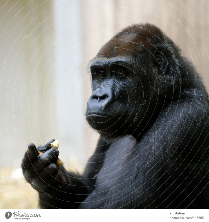 without words Bread Eating Animal Wild animal Animal face Pelt Zoo Monkeys Apes Eyes Nose Ear Animal portrait Gorilla 1 Observe To feed Exceptional Dark