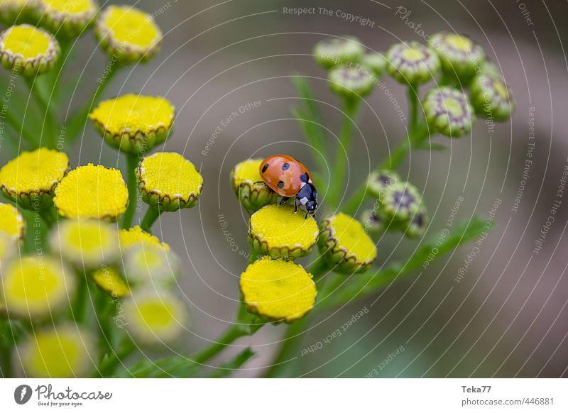 the long journey #2 Environment Nature Landscape Plant Animal Flower Farm animal Beetle Curiosity Cute Ladybird Colour photo Subdued colour Close-up Detail
