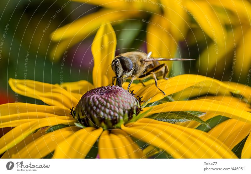 nectar nibbling Nature Plant Animal Flower Fly 1 Personal hygiene Hover fly Colour photo Close-up Macro (Extreme close-up) Animal portrait