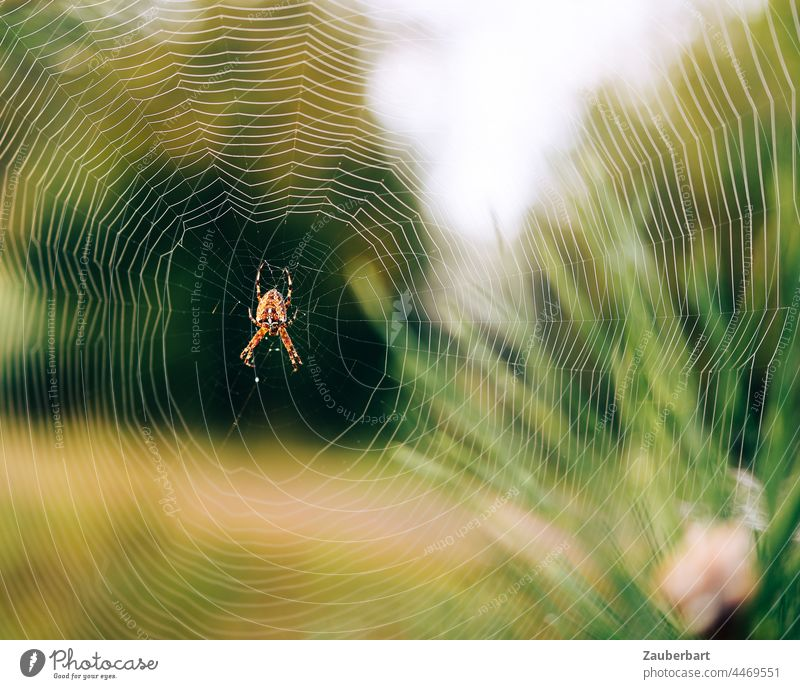 Cross spider sits in web in front of green meadow and plants Net Meadow Delicate structure Nature Insect Spider Close-up Spider's web Shallow depth of field