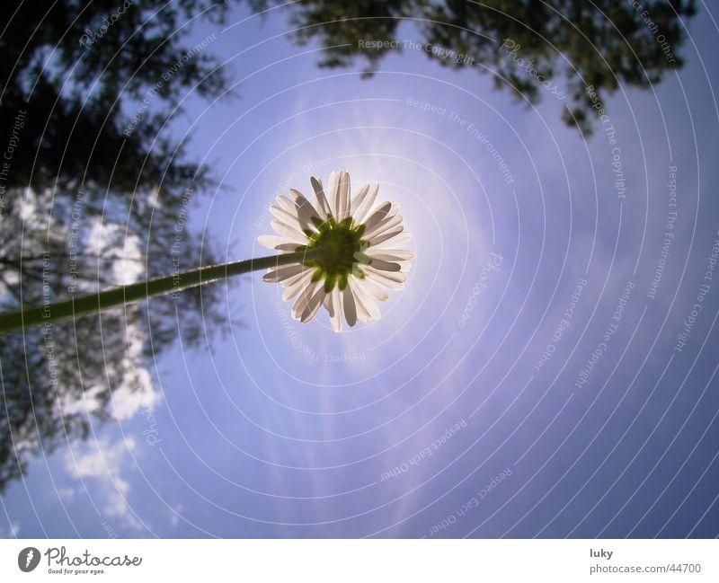 Sky Sun Flower Blue Summer Vacation & Travel Meadow Fresh Perspective Under Daisy Blue sky