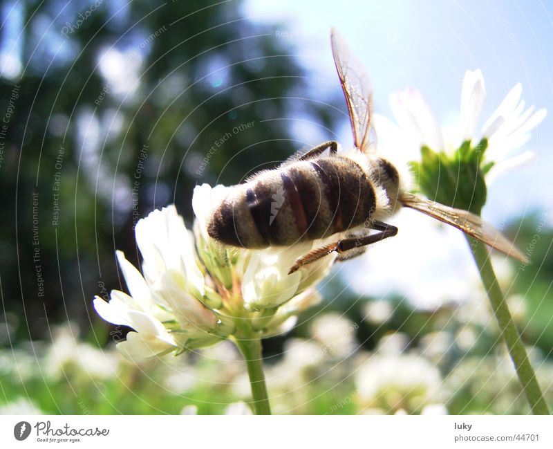 brummer looking for sweet Summer Flower Daisy Meadow Wasps Physics Sprinkle Animal Transport Sun bine Warmth Harvest Sweet Bee Nature luky-page