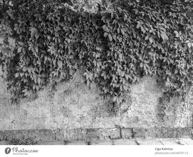 Brick wall with leaves in black and white Wall Wall (barrier) Facade Brick facade Wall (building) Structures and shapes Manmade structures Pattern Stone