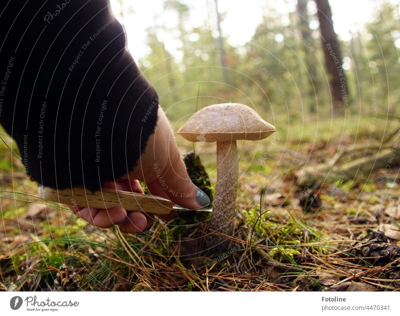 There he stood the birch mushroom. Like something out of a picture book. I pulled out my knife and cut it off. Mushroom cap Mushroom picker Nature Autumn Plant