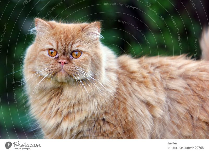 Persian cat with red fur and shiny eyes in front of blurred background in garden Cat Pet Animal face Animal portrait Looking into the camera Kitten Majestic