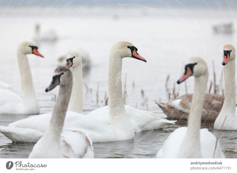 White swan flock in spring water. Swans in water. White swans. Beautiful white swans floating on the water. swans in search of food. selective focus animal lake