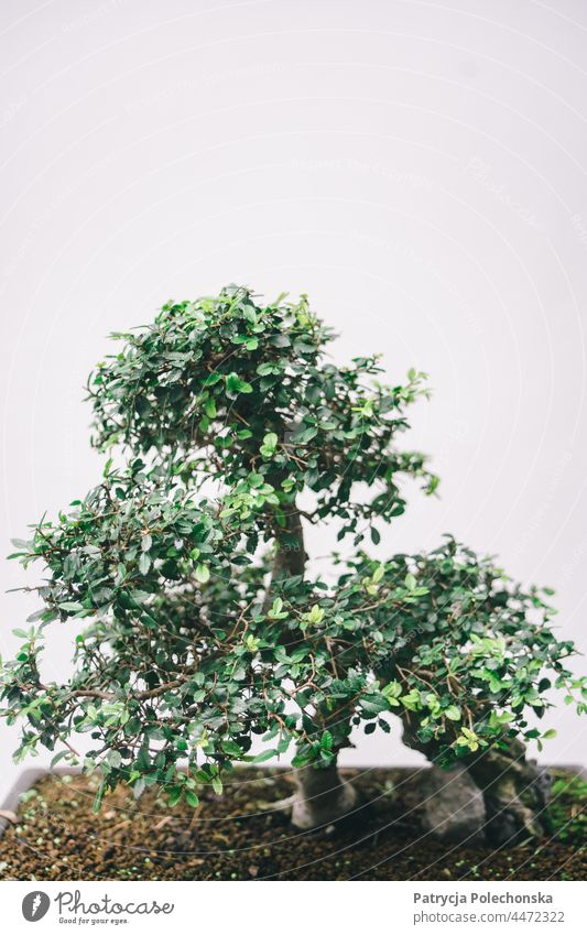 Green potted bonsai tree against a grey minimalist background Tree Minimalistic Japanese Copy Space top Plant