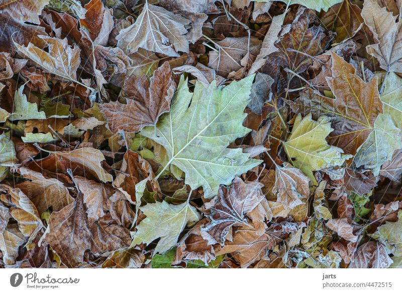 autumn foliage Autumn variegated leaves Hoar frost Cold Nature Autumnal Autumn leaves Autumnal colours Leaf Transience Deserted Forest Autumnal weather Seasons