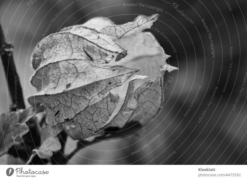 close up of empty physalis fruit in black and white - side closeup Physalis Plant Chinese lantern flower Colour photo Orange Close-up Autumn Cape gooseberry