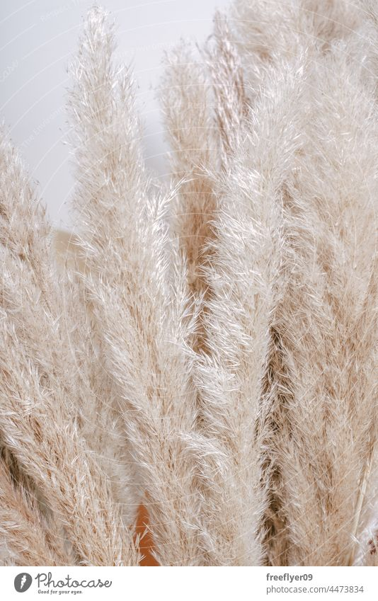 Pampas plant texture for backgrounds pampas decoration decorative fluffy nature copy space leaves autumn ornamental room wedding rustic centerpiece feather