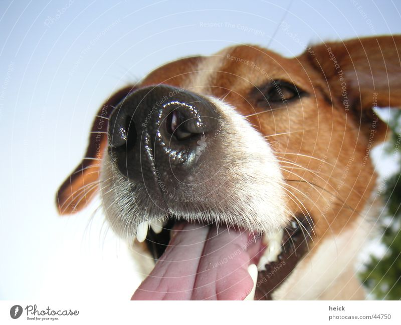 Beautiful Animal Dog Set of teeth Mammal Tongue Snout Muzzle New Zealand Terrier Dog's head Russell Jack Russell terrier
