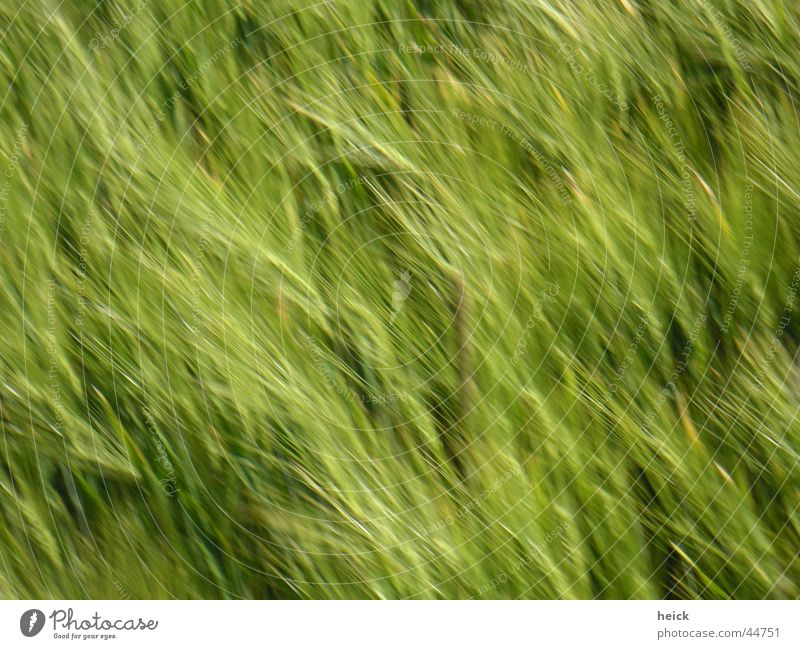 running corn Sowing Field Wheat Green Blur Ear of corn Wheat ear Spring Summer Grain Nature