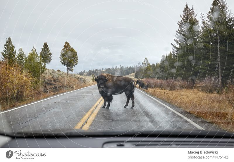 American bison on a road seen through the windshield in Yellowstone National Park, USA. wildlife car rain animal danger Wyoming untamed mammal nature beast