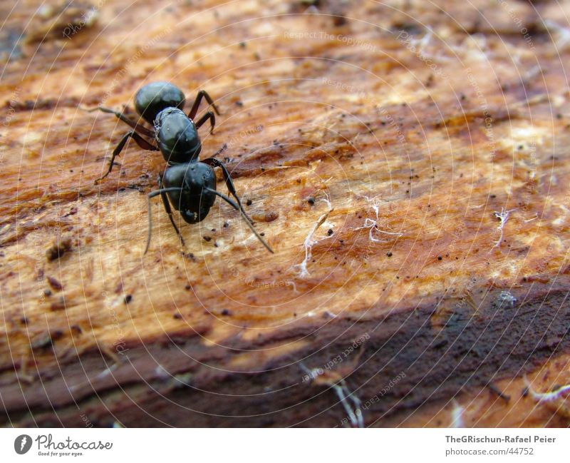 ant Ant Black Crawl Animal Strong Feeler Tree Stress antz the big crawl big mamma wild Legs Nature tit Macro (Extreme close-up) run away Fear