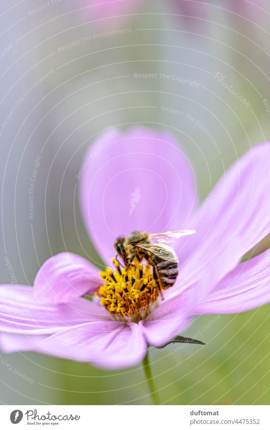 Macro photo of a bee on a pink flower, jewel basket Bee Diligent Flower Blossom Cosmos Plant Blossoming Nature Close-up Grand piano Pink Insect pretty
