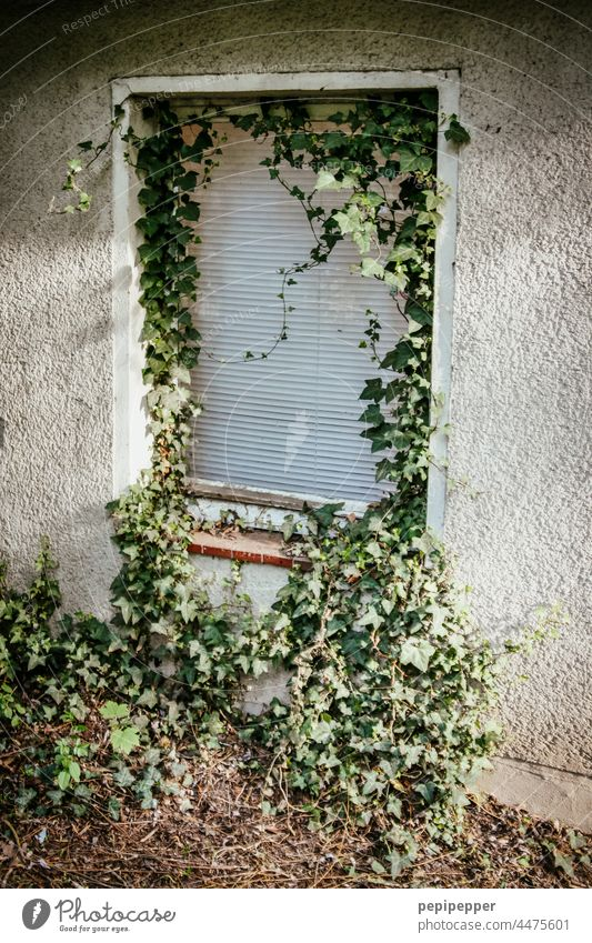 old abandoned house with ivy overgrown window blinds old house House (Residential Structure) Old Ivy ivy leaf ivy leaves ivy vine Ivy vines roller shutter