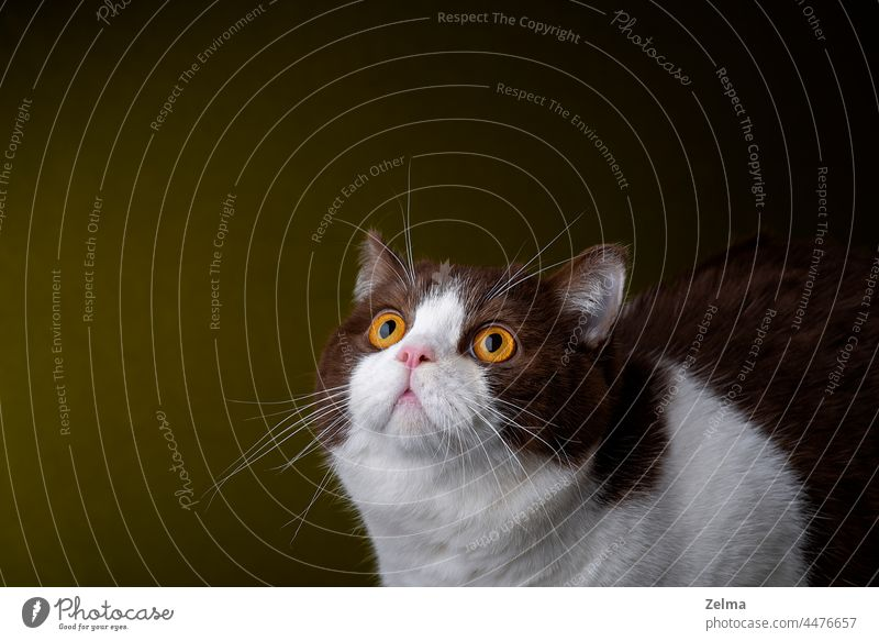 British shorthair cat with yellow eyes looking up british shorthair cat British Shorthair cute pet Domestic cat domestic animal Isolated Dark background
