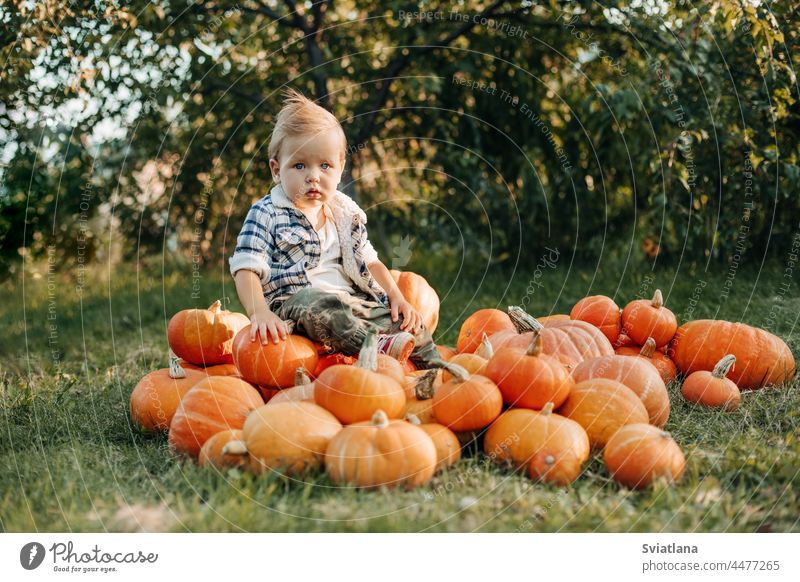 A blonde-haired baby is sitting on a pile of ripe pumpkins in the garden. Harvest, autumn, Halloween. Space for the text boy little halloween orange october